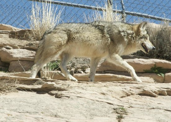 Window Rock, AZ: wolf