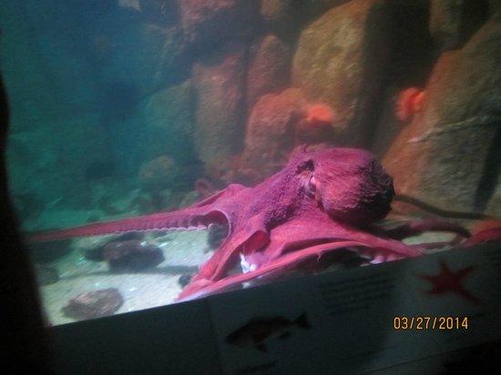 Monterey Bay Aquarium: Active octopus