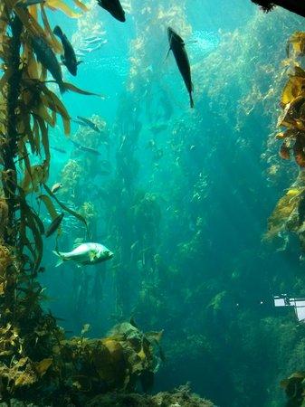 Monterey Bay Aquarium: Kelp Forest is wonderful watch