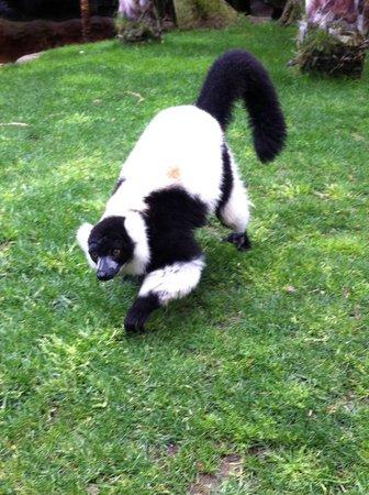 Bioparc Fuengirola : lemur