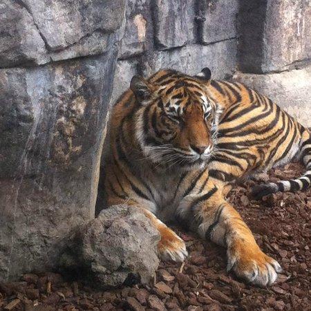 Bioparc Fuengirola : tiger