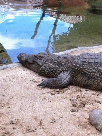 Bioparc Fuengirola: crocodile