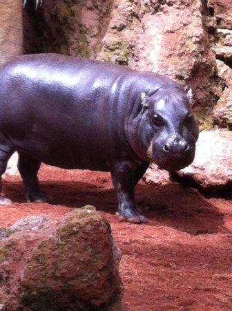 Bioparc Fuengirola: hippo