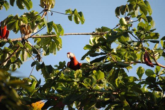 El Remanso Lodge: Scarlet Macaws