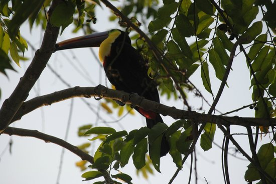 El Remanso Lodge: Toucans by the pool