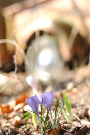 Robinwood Inn: Spring crocus