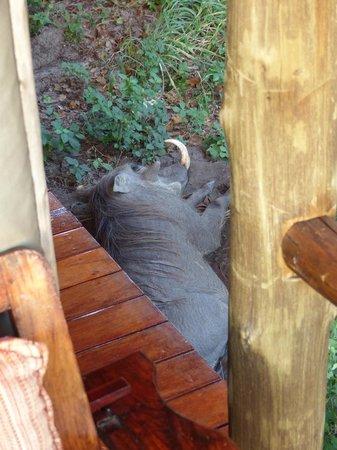 Shinde - Ker & Downey Botswana: Warthog having lie-in
