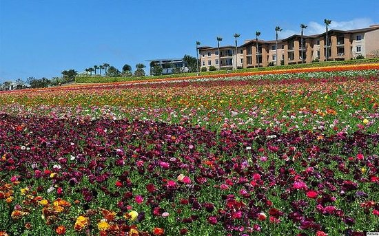 Cape Rey Carlsbad, a Hilton Resort: Carlsbad Flower Fields