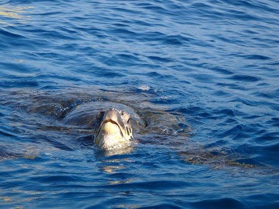 Hawaiian Paddle Sports : Swimming wit the Turtles