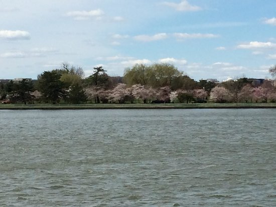 Cherry blossoms Hains Point from SW DC Picture of Hains Point