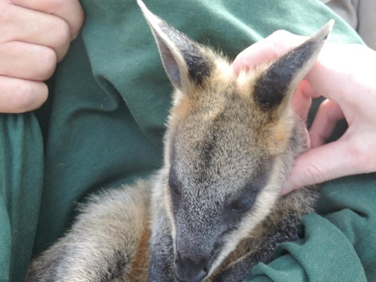 Featherdale Wildlife Park: Baby Wallaby held by animal warden