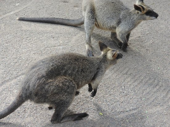 Featherdale Wildlife Park: Friendly Wallabies