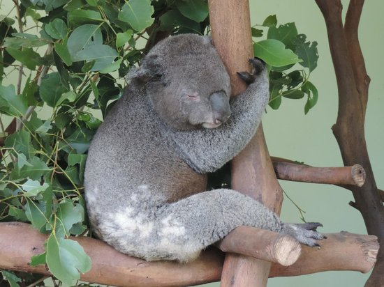 Featherdale Wildlife Park: Koala