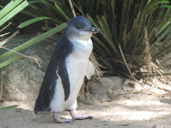 Featherdale Wildlife Park: Very small penquins