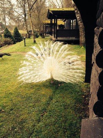 Altamount Chalets : Albino peacock