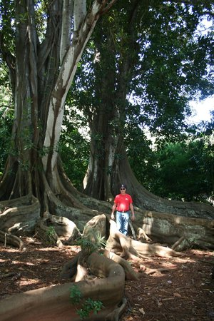 McBryde Garden: Banyon trees where scenes from Jurassic park and Pirates of the Caribbean 4 were filmed