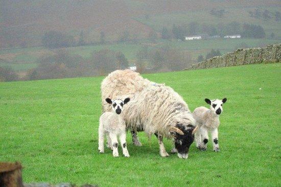 Lake District Tours: Sheep