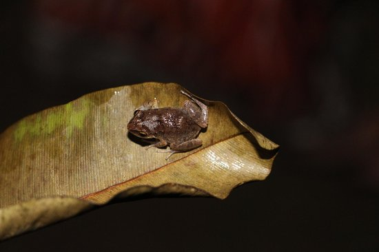 Couples Negril : Our night searching for critters- tree frogs