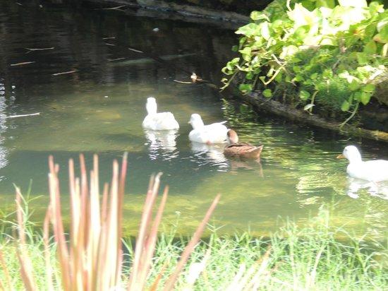 Serrambi Resort: Patos y peces cerca de la recepción del Hotel.