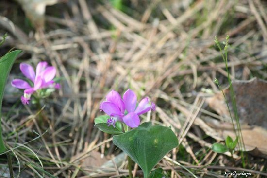 Pinery Provincial Park : Pink flowers