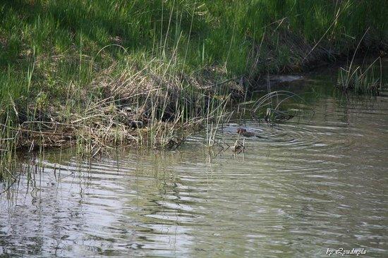 Pinery Provincial Park : Beaver