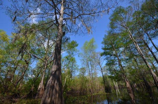 Atchafalaya Basin Landing & Marina- Swamp Tours: Swamp