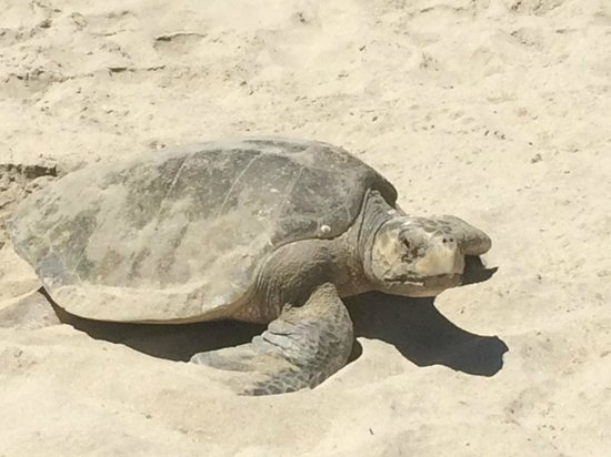 Occidental Nuevo Vallarta: A mama turtle came up to shore to lay her eggs