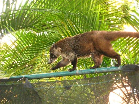 Sandos Playacar Beach Resort : Coati