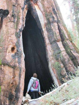 Mariposa Grove of Giant Sequoias: Huge!