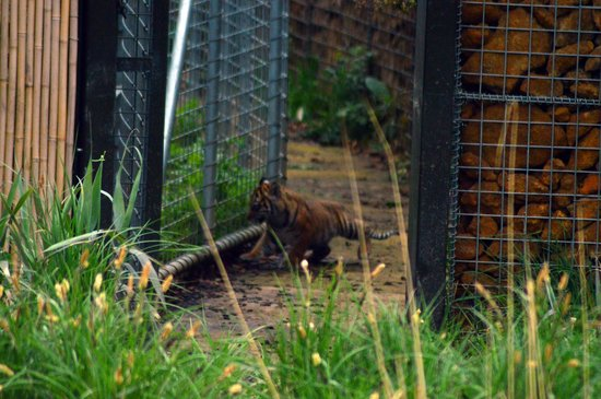 ZSL London Zoo: One of Melati's 3 cubs explores..