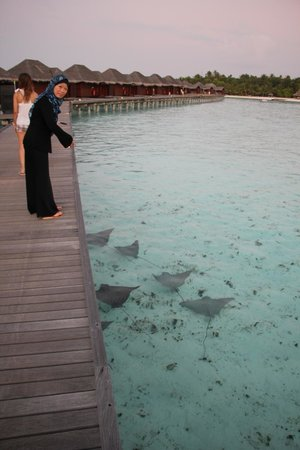 Anantara Veli Maldives Resort : School of manta rays