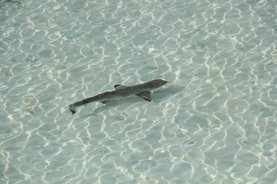 Anantara VeliMaldivesResort: friendly shark swimming with us