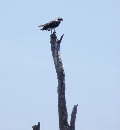 Sawgrass Recreation Park: An osprey caught a fish