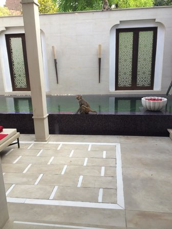 ITC Mughal, Agra: Monkeys sharing pool - impossible said the manager ! - well what's that then mate ? A statue ?