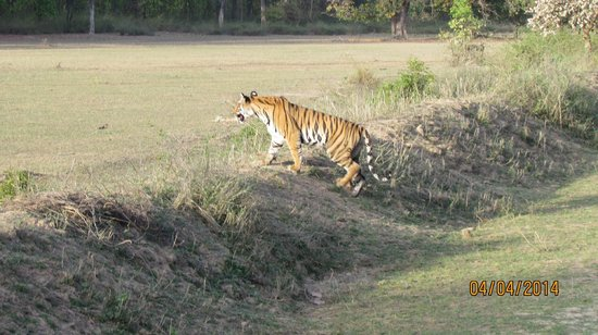 Bandhavgarh Meadows: Tiger Sighting on one of the Safari