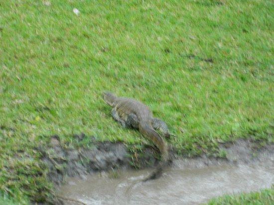 Chobe Safari Lodge : Baby Crocodile outside our Room