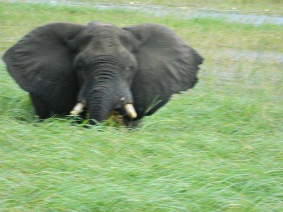 Chobe Safari Lodge : He was big relaxing in the water