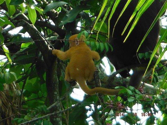 Lazyboys Travelodge: Visiting Dusky Leaf Monkeys
