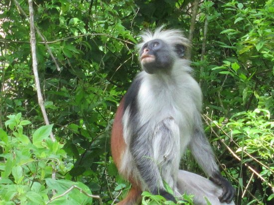 The Residence Zanzibar: Colobus Monkey in the nearby jungle