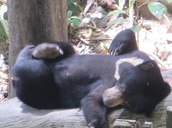 Sepilok Nature Resort: Sun Bear at Sepilok enclosure