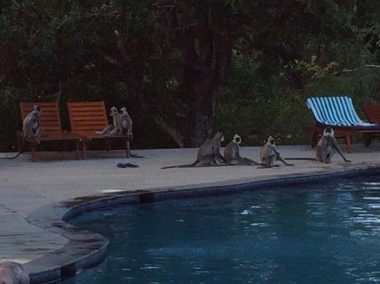 Cinnamon Wild Yala : Monkeys by the pool!