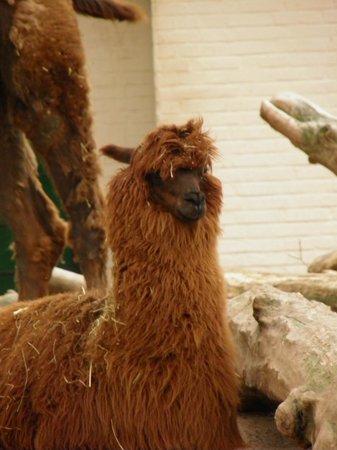 ARTIS Amsterdam Royal Zoo: Llama