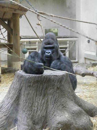 ARTIS Amsterdam Royal Zoo: Gorila Espalda Plateada