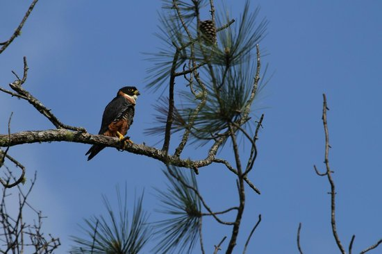 Hidden Valley Inn : male Orange-breasted Falcon