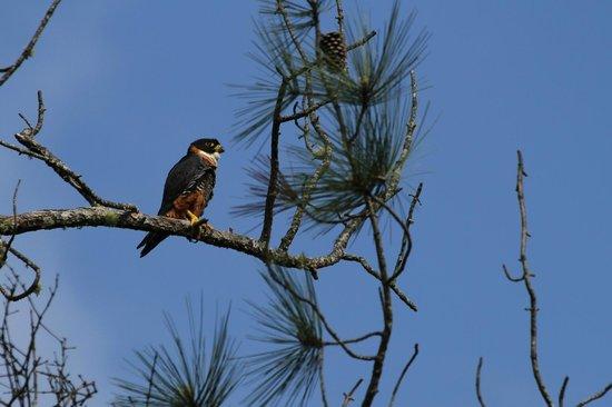 Hidden Valley Inn: male Orange-breasted Falcon