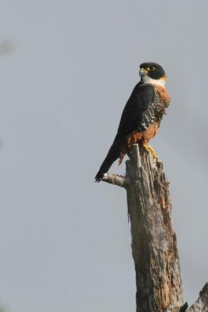 Hidden Valley Inn: female Orange-breasted Falcon