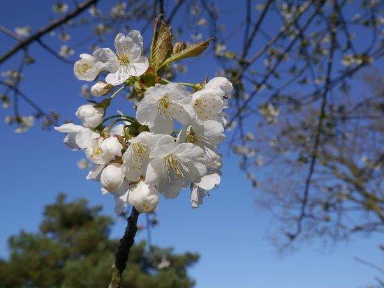 Jasmine Park: Blossom tree in grounds