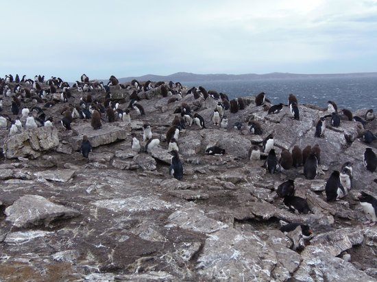East Falkland, Falklandinseln: Part of the rockhopper colony at Kidney Cove, Murrell Farm, E. Falkland Island
