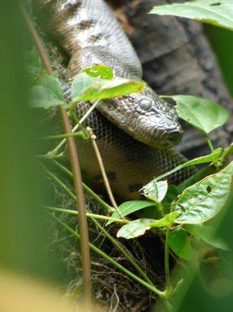 La Selva Amazon Ecolodge: Baby anaconda
