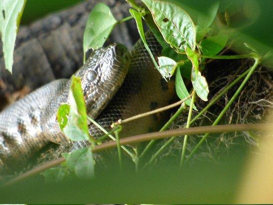 La Selva Amazon Ecolodge : Baby anaconda